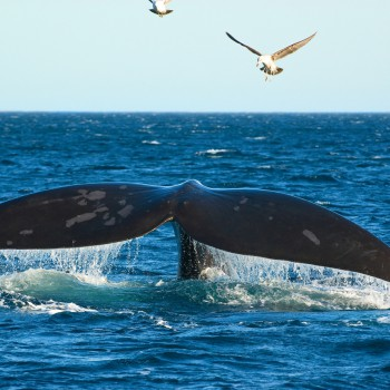 Hermanus-Southern-Right-Whale-small